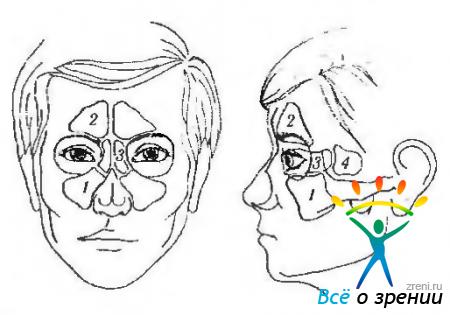 Пазухи носа - что такое придаточные и околоносовые пазухи и их анатомия