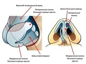 Строение носа человека и его анатомия - как он устроен и его функции