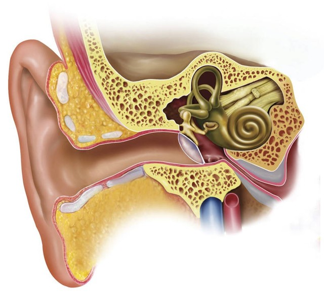 Ушной хрящ – строение и функции