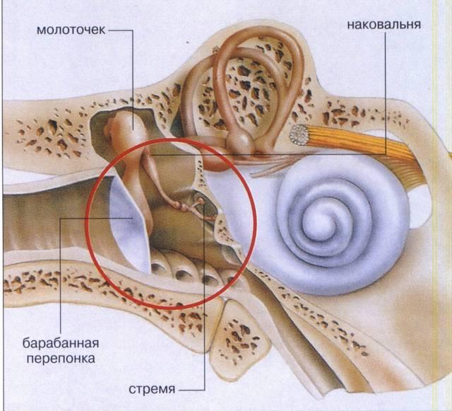 Среднее ухо человека – строение и функции