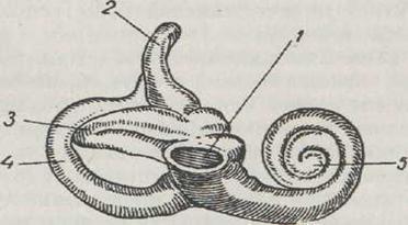 Внутреннее ухо – его строение и функции