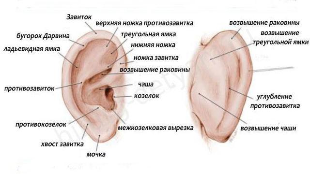 Мочка уха – что это такое, ее функции и где находится
