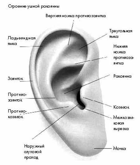 Что такое козелок уха и ушной раковины