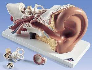 Звон в ушах в тишине – из-за чего звенит в левом и правом ухе