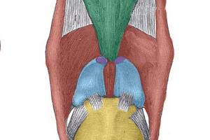 Что такое надгортанник и какую функцию он выполняет в организме