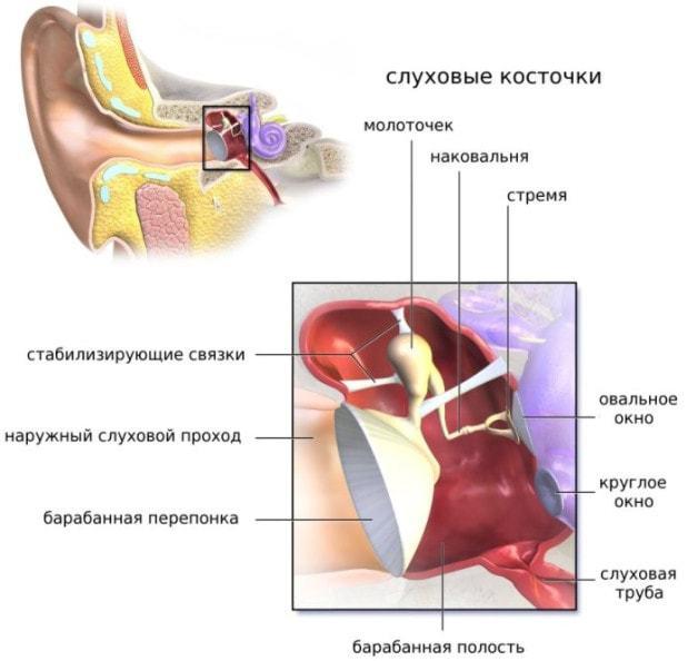 Ушная раковина человека – анатомия и строение