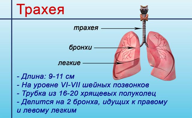 Виды трахеита – вирусный и бактериальный, гнойный и затяжной и др.