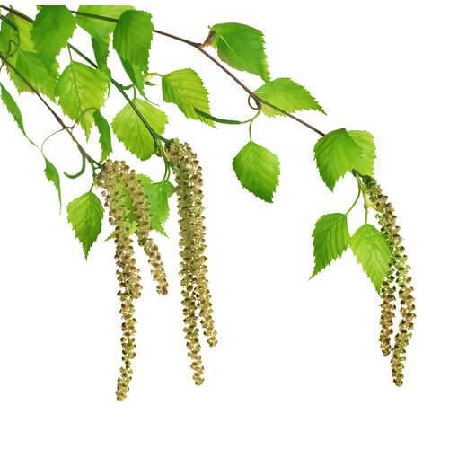 Травы от гайморита - какими лучше проводить лечение