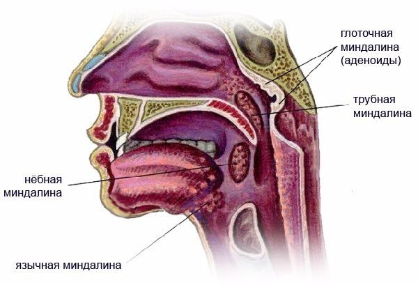 Что такое трубная миндалина и почему она воспаляется