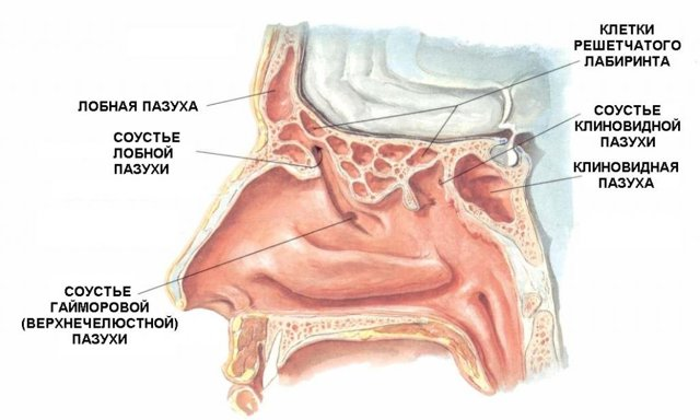 Что такое слизистая оболочка носа - ее строение и функции