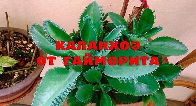 Каланхоэ при гайморите - рецепт для лечения и применения