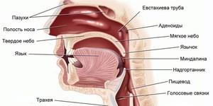 Строение и функции носоглотки человека - как она устроена