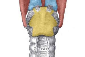Хрящи гортани - щитовидный, черпаловидный, перстневидный и другие