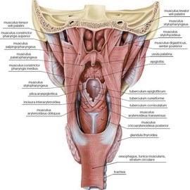 Строение горла человека, его анатомия и схема и устройство